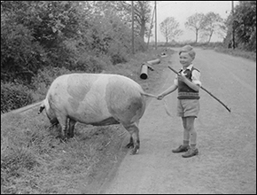 One of the sons of the Strickland family, driving pigs along Newton Road in the 1950s.